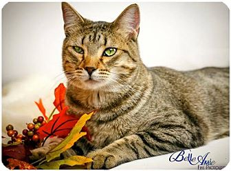 Domestic Shorthair Cat for adoption in Denver, Colorado - Bruce