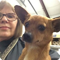 Dachshund/Chihuahua Mix Dog for adoption in Plano, Texas - Lil Bit