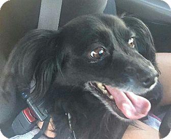 Tibetan Spaniel/Cocker Spaniel Mix Dog for adoption in Phoenix, Arizona - Oreo3