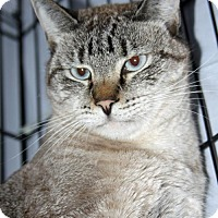 Domestic Shorthair Cat for adoption in Asheville, North Carolina - Angel