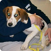 Beagle Dog for adoption in New York, New York - Nina