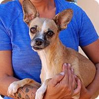 Adopt A Pet :: Paloma - Las Vegas, NV