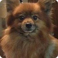 Adopt A Pet :: Prince # 918 - Nixa, MO