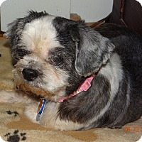 Shih Tzu Dog for adoption in Spring City, Tennessee - Willow: MELLOW Girl!