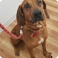 Redbone Coonhound Mix Dog for adoption in Seattle, Washington - Collin