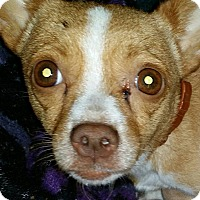 Chihuahua Mix Dog for adoption in South Bend, Indiana - Maia