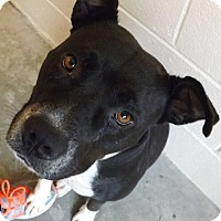 American Pit Bull Terrier Mix Dog for adoption in Barco, North Carolina - Tasha