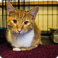 Domestic Shorthair Kitten for adoption in Mooresville, North Carolina - A..  Octavius
