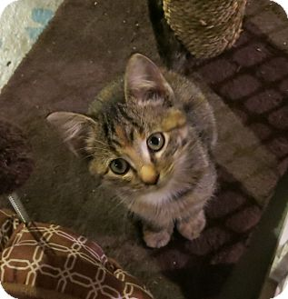 Domestic Shorthair Kitten for adoption in Geneseo, Illinois - Sasha