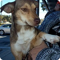 Shepherd (Unknown Type)/Catahoula Leopard Dog Mix Dog for adoption in Von Ormy, Texas - Tootsie