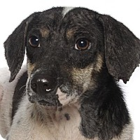 Dachshund/Beagle Mix Dog for adoption in Oakland Park, Florida - DeCastro