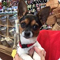 Adopt A Pet :: Cupcake - McKinney, TX