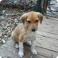 Adopt A Pet :: Banjo - Richmond, VA