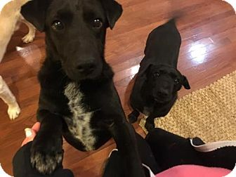 Patterdale Terrier (Fell Terrier) Dog for adoption in Island Heights, New Jersey - Sammmy