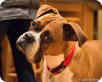 Boxer Mix Dog for adoption in Bristol, Connecticut - Dolce