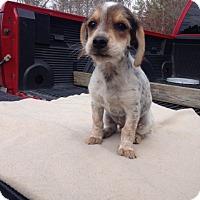Adopt A Pet :: Joey - pending - Manchester, NH