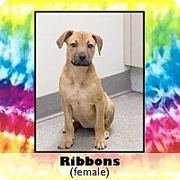 Adopt A Pet :: Ribbons - Medford, NJ
