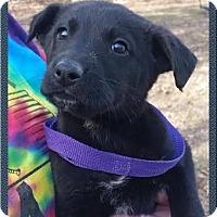 Adopt A Pet :: Edison - pending - Manchester, NH