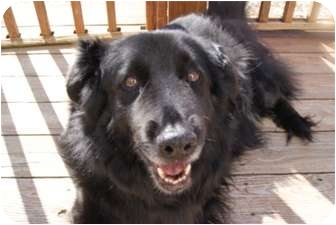 chow chow border collie mix - photo #38