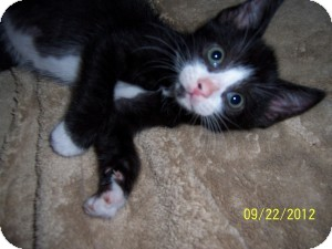 Domestic Shorthair Kitten for adoption in Island Park, New York - Mittens