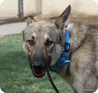 German Shepherd Malinois Mix Puppies Jaegar   Adopted Dog  ...