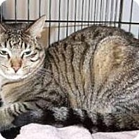Domestic Shorthair Cat for adoption in Miami, Florida - Comet