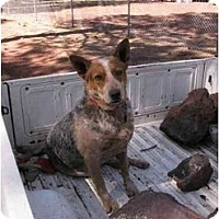 Adopt A Pet :: Buddy (Flagstaff) - Scottsdale, AZ