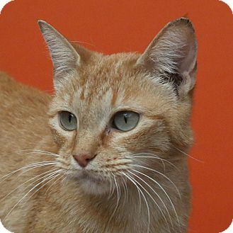 American Shorthair Cat for adoption in Aiken, South Carolina - Retro