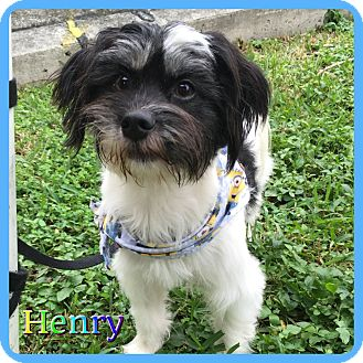 Shih Tzu Mix Dog for adoption in Hollywood, Florida - Henry