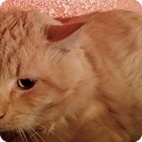 Adopt A Pet :: Buttercream - Ennis, TX