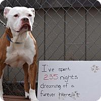 Adopt A Pet :: Buster - Harriman, NY, NY
