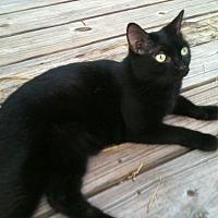 Domestic Shorthair Cat for adoption in Bonita Springs, Florida - Latte