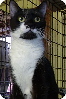 Domestic Shorthair Cat for adoption in Acme, Pennsylvania - DALEEN