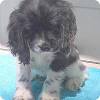 Adopt A Pet :: Knox - Birch Tree, MO