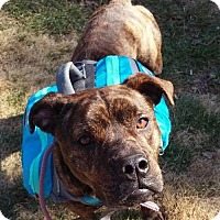 Boxer/American Staffordshire Terrier Mix Dog for adoption in Portland, Maine - Gracie