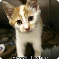 Adopt A Pet :: Sweet Justice - Lancaster, PA