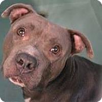 Adopt A Pet :: Beasty - Troy, MI