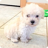 Adopt A Pet :: Maltipoo Puppies *hero dogs - Seattle, WA
