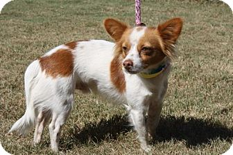 Chihuahua Mix Dog for adoption in Poughkeepsie, New York - Robin