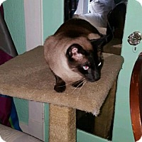 Burmese Cat for adoption in Burlington, Washington - Jackie Chan