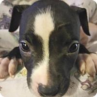 Adopt A Pet :: Coal - Cincinnati, OH