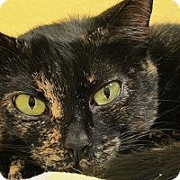 American Shorthair Cat for adoption in Eastsound, Washington - Pepsi