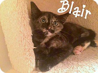 Domestic Shorthair Kitten for adoption in Nashville, Tennessee - Blair