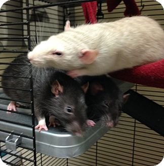 Rat for adoption in Navarre, Florida - Dot