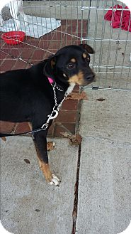 Beagle/Jack Russell Terrier Mix Dog for adoption in Carthage, North Carolina - Durante