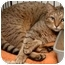 Photo 2 - Abyssinian Cat for adoption in Brooklyn, New York - Feon