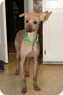 Xoloitzcuintle/Mexican Hairless Mix Dog for adoption in Sherman, Connecticut - Athena Betty's Dog