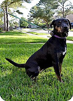 Labrador Retriever/Rottweiler Mix Dog for adoption in Houston, Texas - Rosie 4