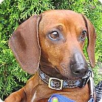 Adopt A Pet :: NICOLAS CAGE - Portland, OR