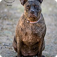 Adopt A Pet :: PORTIA - Chandler, AZ